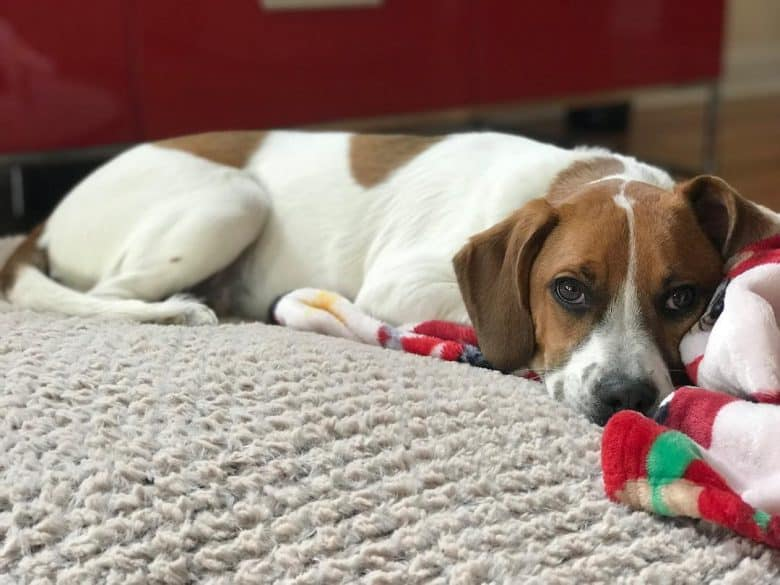 Boxer Beagle Mix laying down