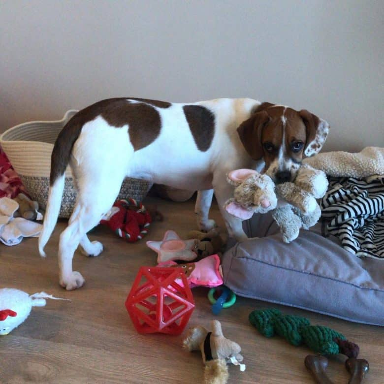 Boggle dog with toys