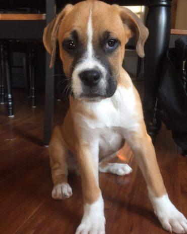 Beagle Boxer Mix puppy