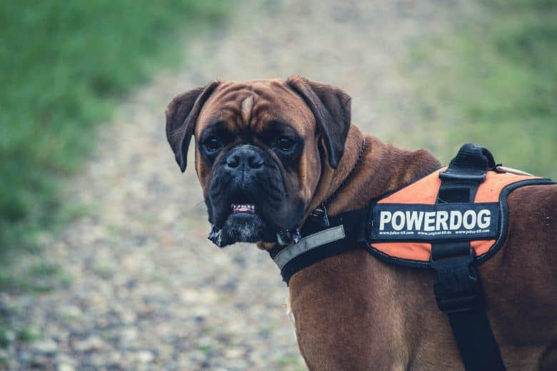 Boxer Lab Mix: A Look At What Boxadors Are - K9 Web