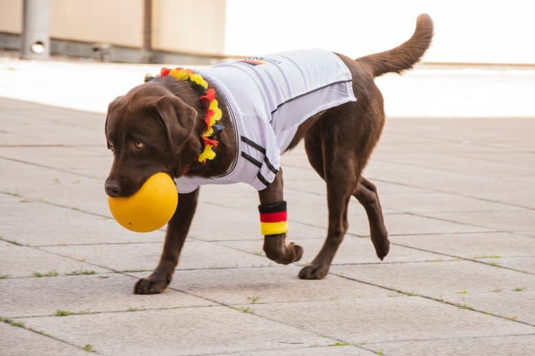Labrador Retriever holding a ball in its mouth
