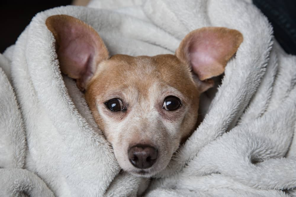 Chiweenie in a blanket