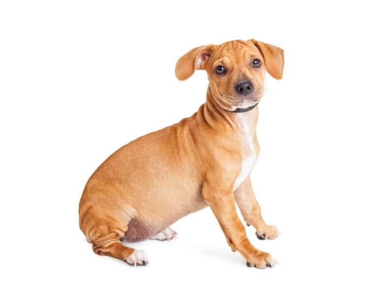 Chihuahua Dachshund Mix sitting down