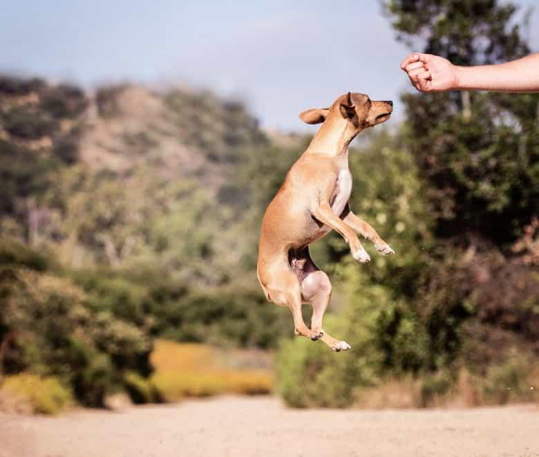 A Dachshund Chihuahua mix jumps