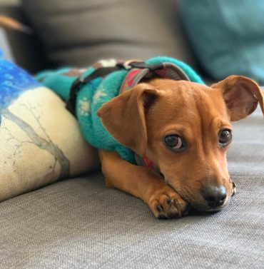 Dachshund and Chihuahua Mix lying down on its paws