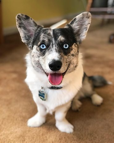 Blue-eyed Corgsky smiling at the camera