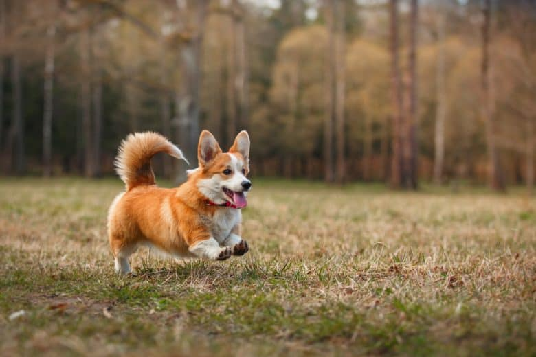 Pembroke Welsh Corgi running in the grass