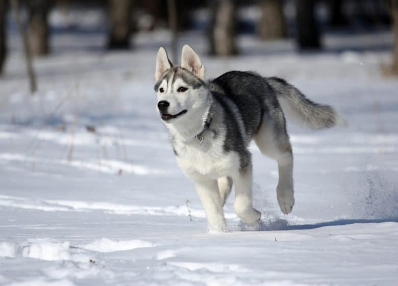 Siberian husky running in snow