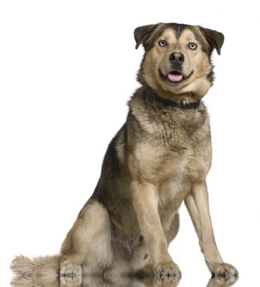 Husky-Shepherd Mix sitting down