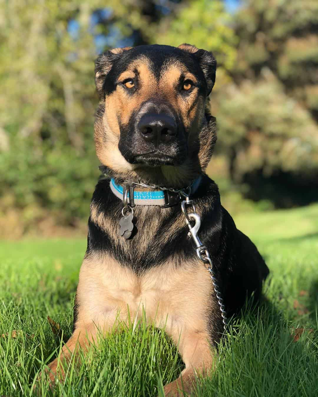 8 Questions Answered About The German Shepherd Lab Mix