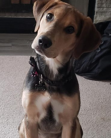 Sheprador dog with a tilted head