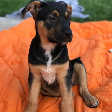 German Shepherd Lab Mix puppy sitting on a blanket