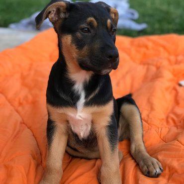 German Shepherd Lab Mix puppy sitting on a blanket