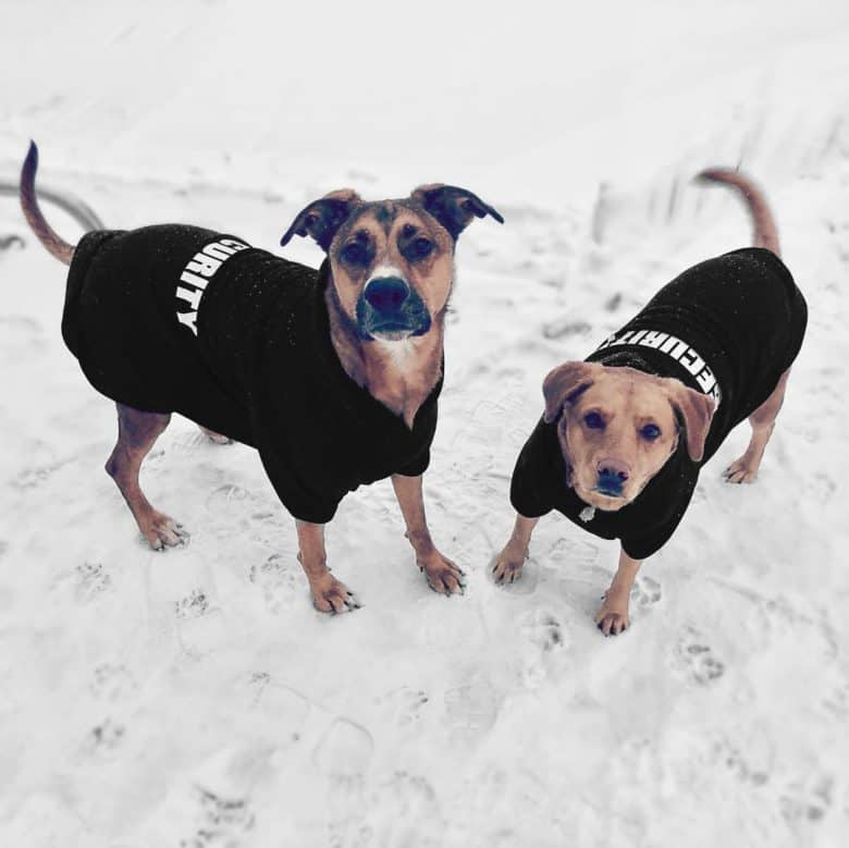 German Pits wearing jackets in the snow