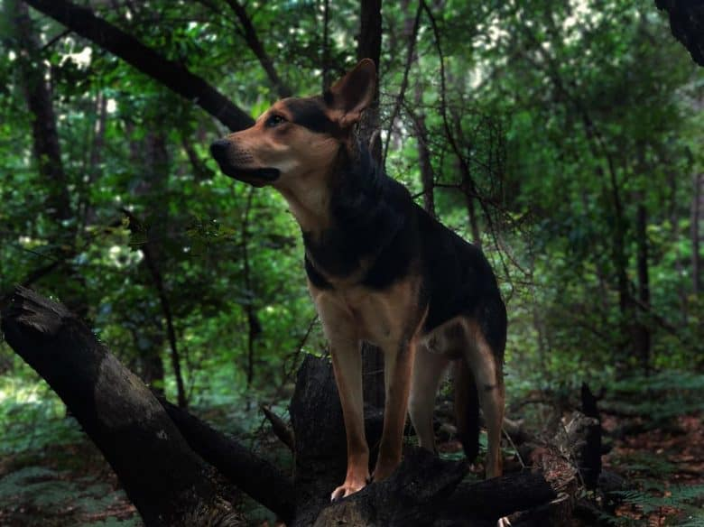 German Shepherd Rottweiler Mix standing on a log in the forest
