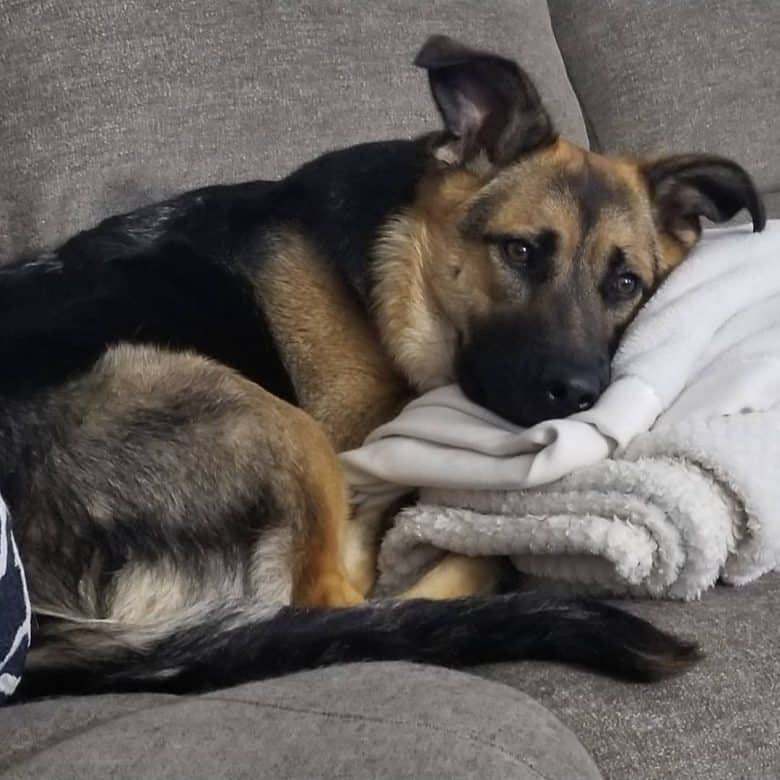 German Shepherd Rottweiler Mix lying on a couch with a blanket