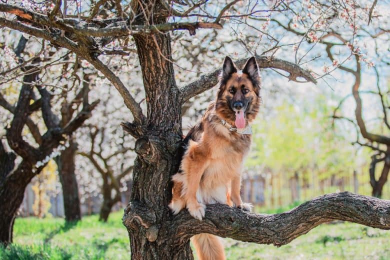 German Shepherd in a tree
