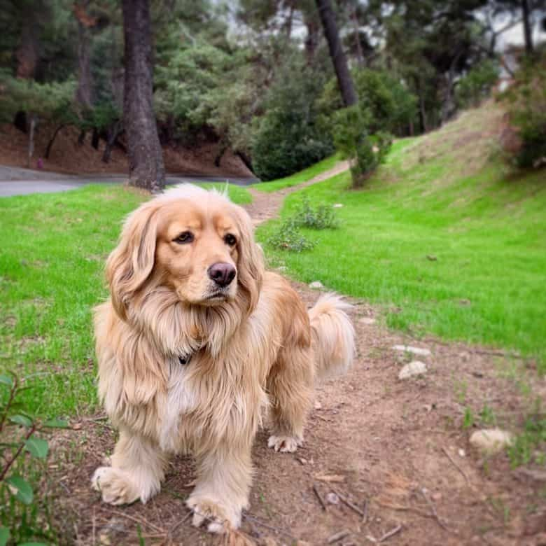 Golden Cocker Retriever in the woods