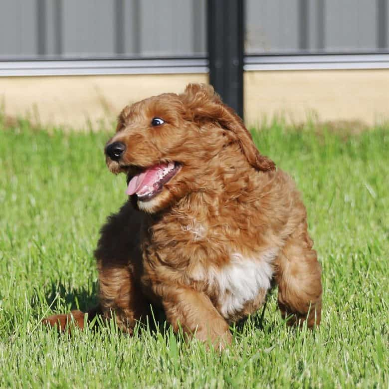 Golden Retriever Poodle mix playing in the grass