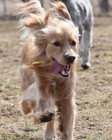 Petite Golden Retriever running