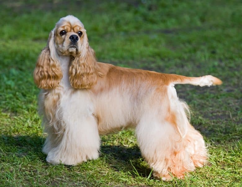 American Cocker Spaniel standing outdoors