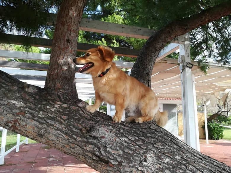 Dwarf Golden Retriever in a tree