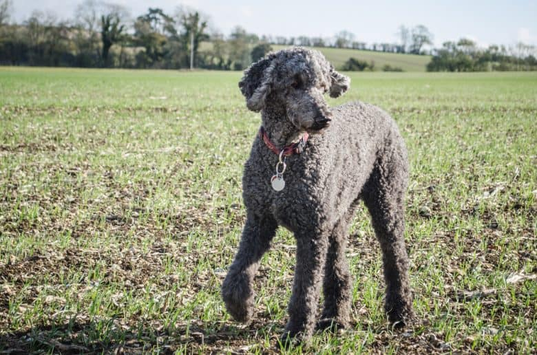 Standard Poodle standing in a field with a paw raised