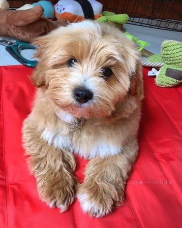 Miniature Goldendoodle laying down