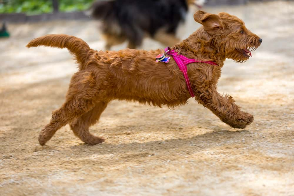 Mini Goldendoodle running in a park