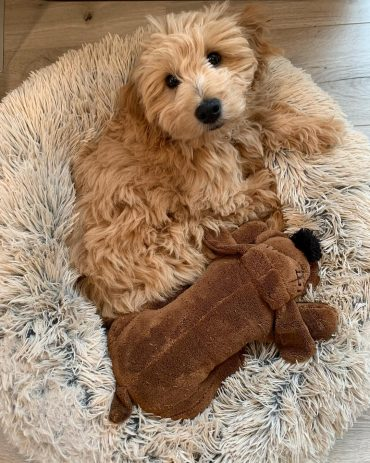 Is there a Miniature Goldendoodle? Yes, there is! - K9 Web