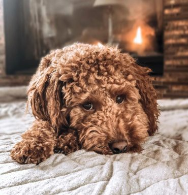 Miniature Goldenpoo by the fire