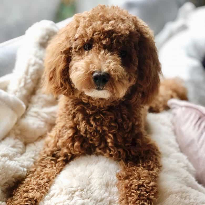 Is There A Miniature Goldendoodle Yes There Is K9 Web