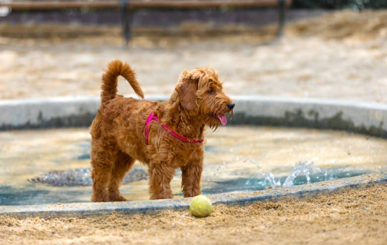 Miniature Goldendoodle in pool