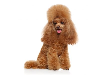 Toy Poodle sitting down