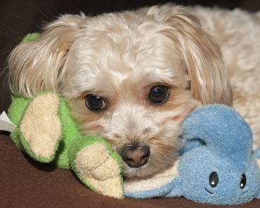 Maltese Yorkie Mix Puppy with toy