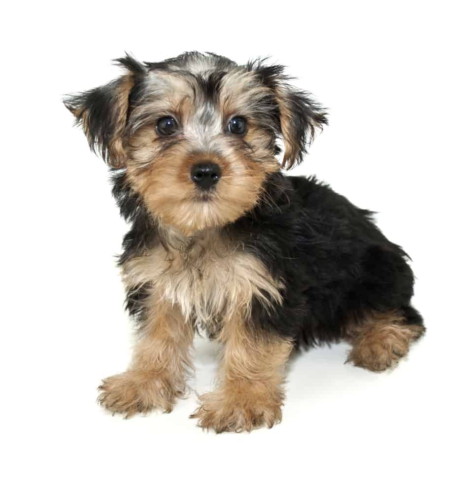 Morkie puppy sitting down