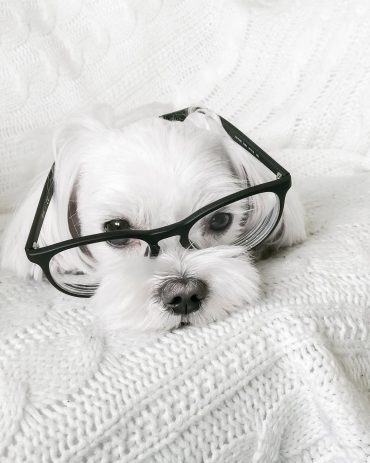 Maltese Yorkie mix wearing glasses