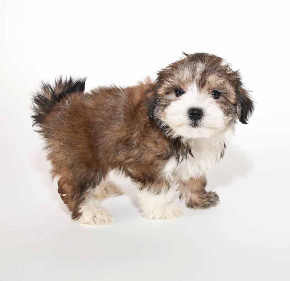 Maltese-Yorkshire Terrier puppy standing up
