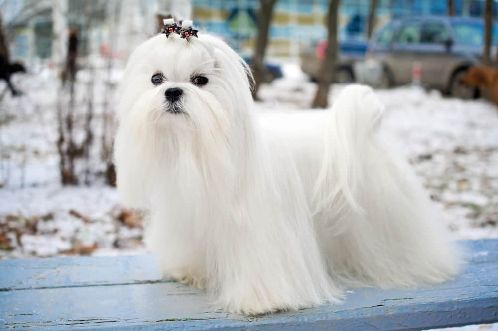 Maltese dog in winter outdoors