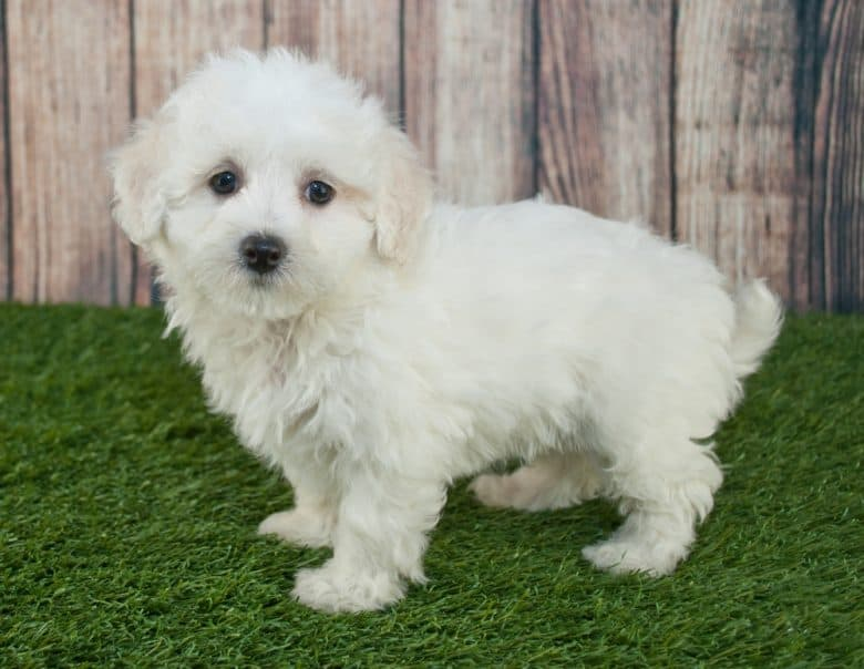 Maltipoo puppy standing in the grass outdoors