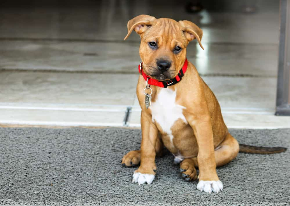 Pitbull Boxer Mix puppy sitting