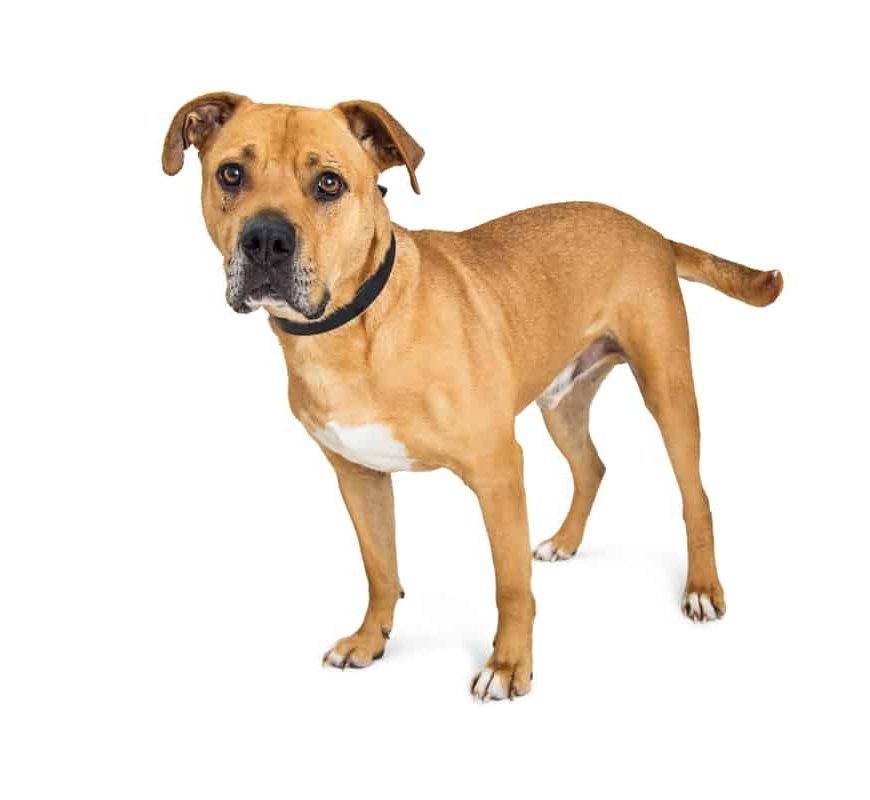 Boxer Pitbull Mix standing