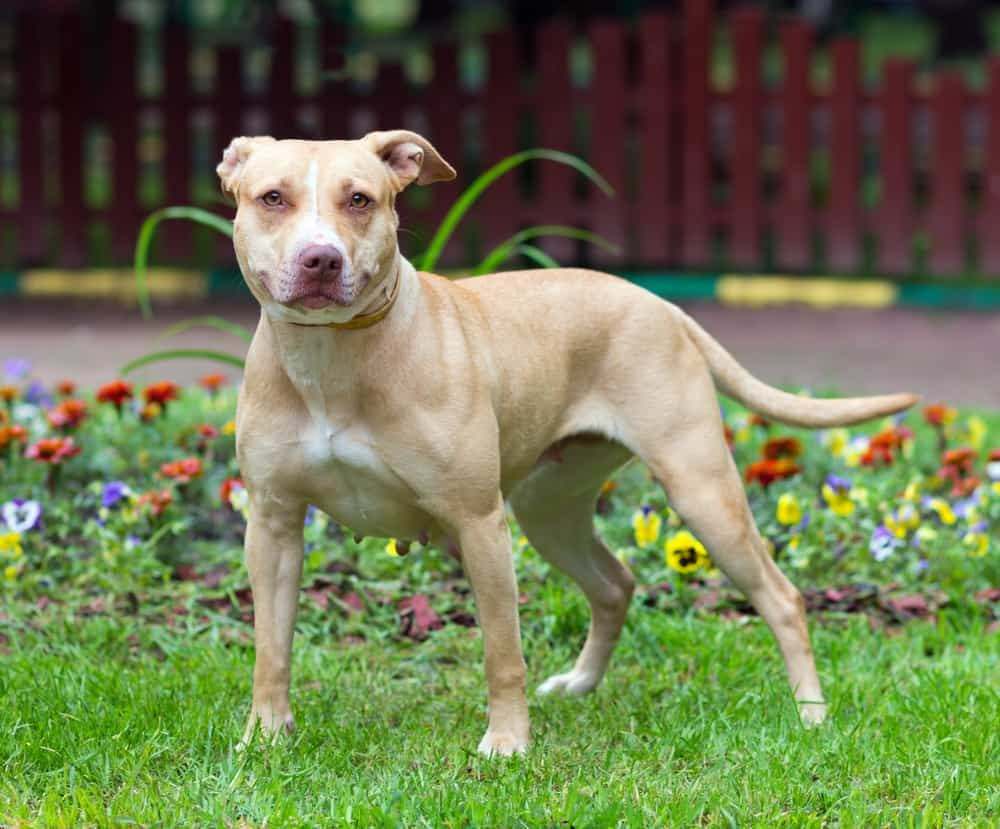 American Pit Bull Terrier standing outdoors