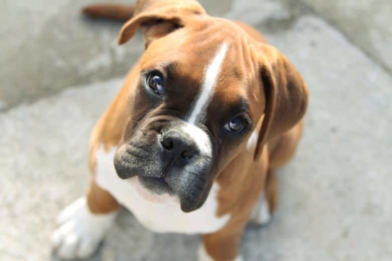 Boxer sitting and looking up