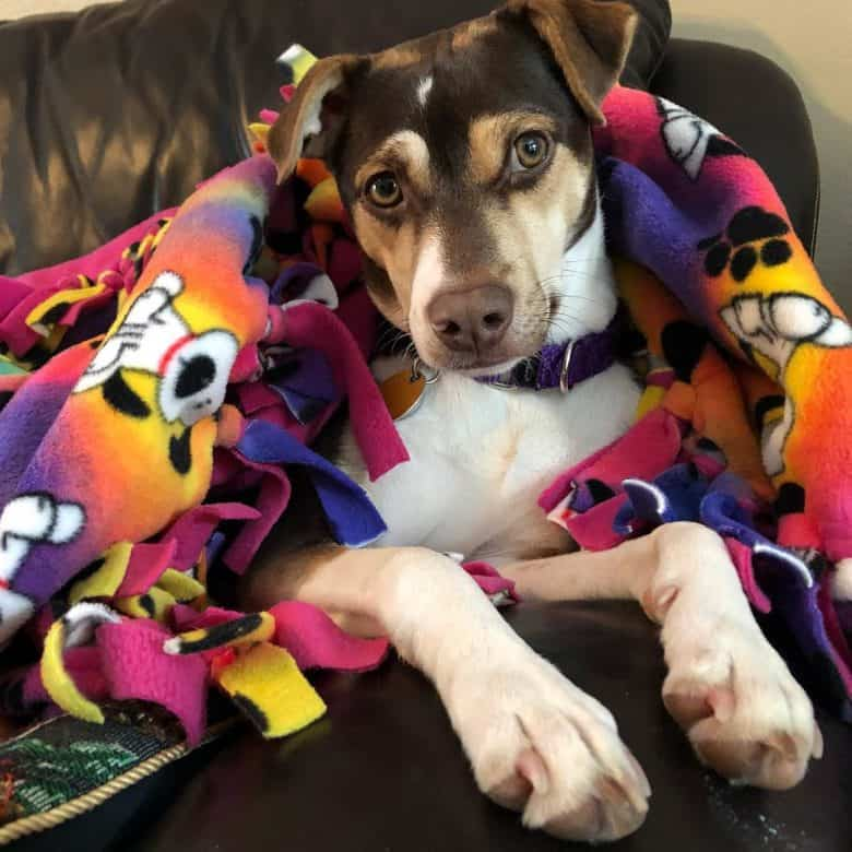 Pitbull Chihuahua Mix under a blanket
