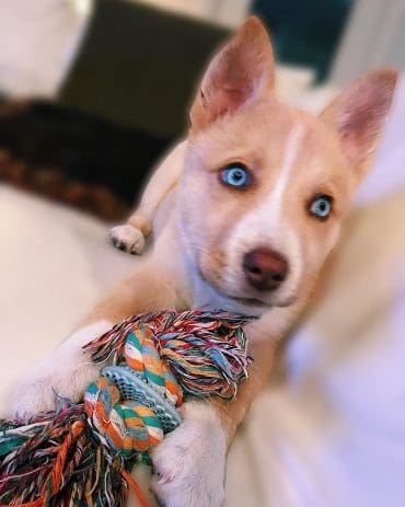 Pitbull Husky Mix puppy
