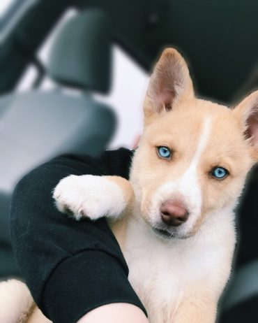 Pitbull Husky mix puppy on hands
