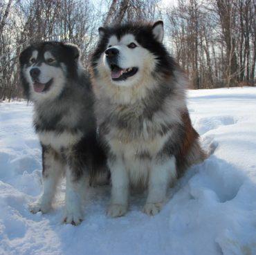 Alaskan Huskies sitting in the snow