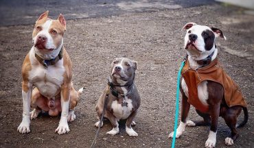 Myths and Truths about the Pocket Pitbull - K9 Web