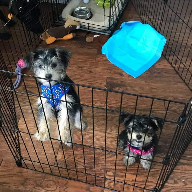 Two Shorkies standing inside a playpen indoors